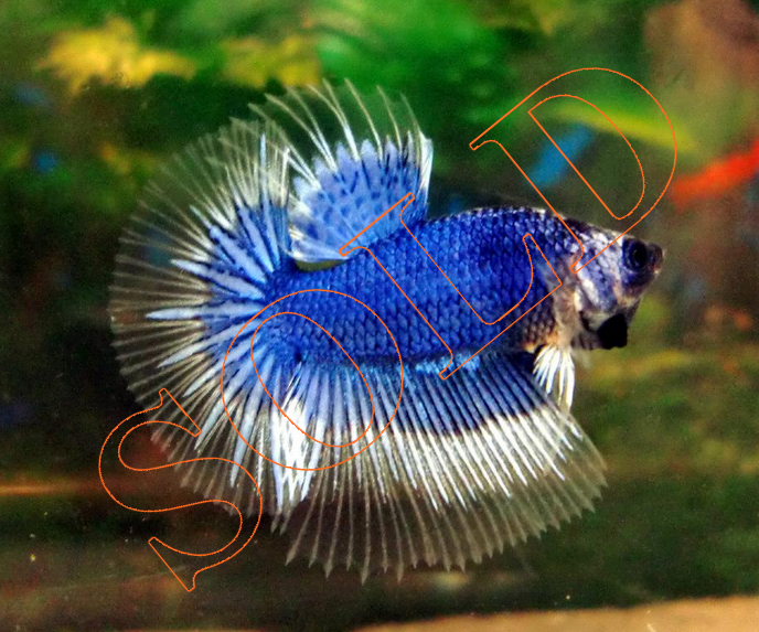 PG's Betta Store: Young HM ~ Blue Pattern Butterfly