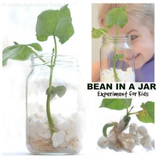 Experiment for kids- grow a magic beanstalk. #beaninabagexperiment #beaninajar #beanexperimentkids #springcraftsforkids #growingajeweledrose #scienceexperimentskids