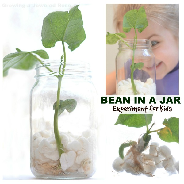 Experiment for kids- grow a magic beanstalk. Fun science that connects to the cherished fairy tale.