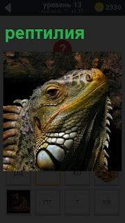 Пресмыкающаяся рептилия во всей своей красе показывает голову и свое оперение