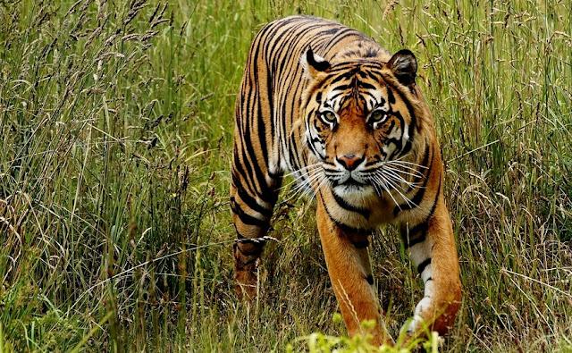 Arti Mimpi Harimau Melihat Dikejar-kejar Jinak Loreng Putih