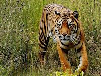 7 Arti Mimpi Harimau: Melihat, Dikejar-kejar, Jinak, Loreng, Putih, dll