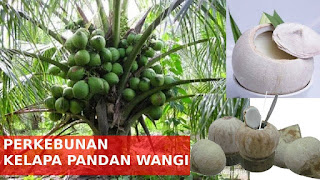 kelapa pandan thailand