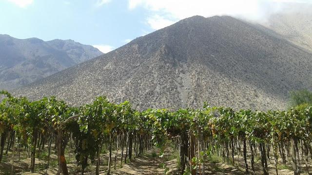 La uva moscatel se adaptó muy bien a estas tierras del Valle del Elqui