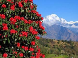 बुरांस नेपाल का राष्ट्रीय फूल