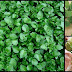 Watercress: A Superfood That Possesses Great Potential For Cancer Prevention