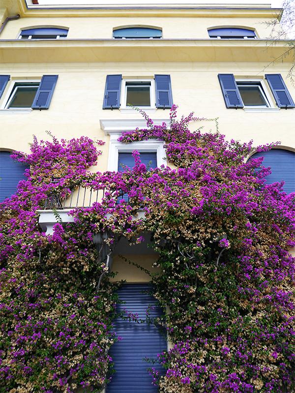 Purple wisteria climbing a yellow wall in Monterosso al Mare, Cinque Terre, Italy