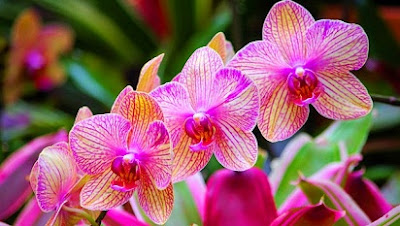 harga bunga anggrek,bunga anggrek langka,cara menanam bunga anggrek,bunga anggrek ungu,manfaat bunga anggrek ciri-ciri bunga anggrek,bunga anggrek,