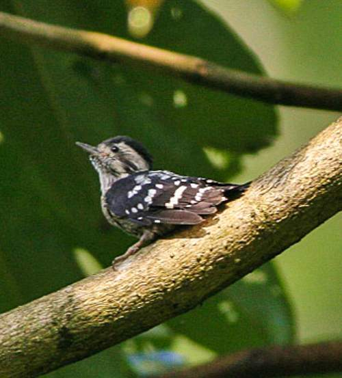 Birds of India - Photo of Grey-capped pygmy woodpecker - Picoides canicapillus