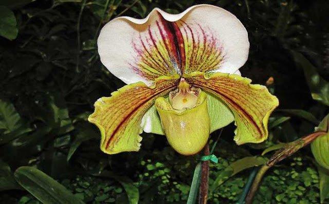 Orquídeas Paphiopedilum - Como Cultivá-las Facilmente
