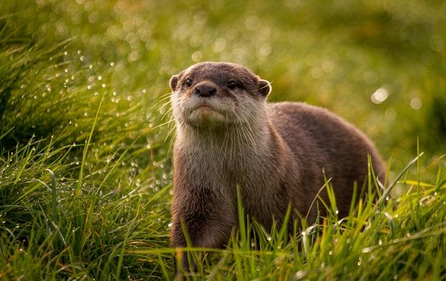 Jangan Sembarangan, Kenali Jenis Jenis Otter yang Dapat Dipelihara Berikut!