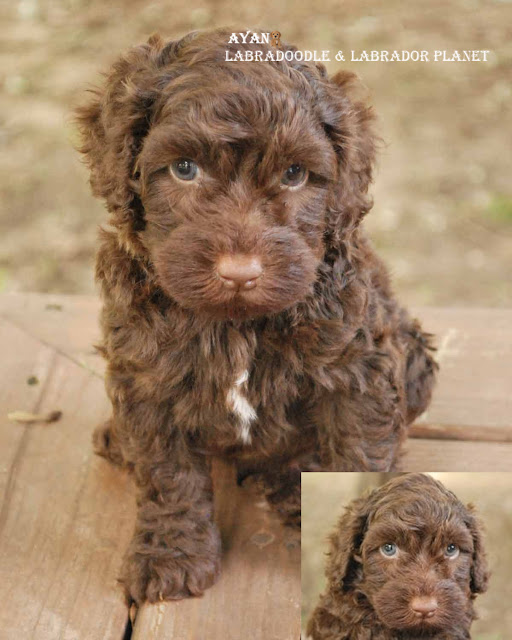 Chocolate Labradoodlepuppies for Sale