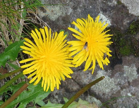 Mniszek pospolity (Taraxacum sect. Taraxacum).