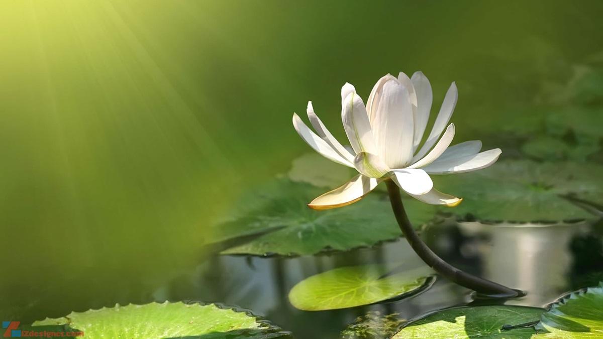 Cùng chiêm ngưỡng bộ ảnh hoa sen đẹp nhất để cảm nhận vẻ đẹp bất tận của loài hoa đẹp này nhé: