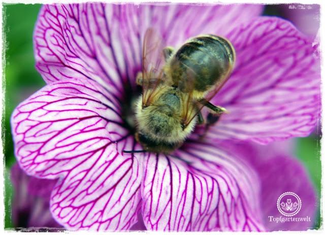 Gartenblog und Foodblog Topfgartenwelt Buchtipp Kreative Naturfotografie: beeindruckende Bildkompositionen einfach umsetzen - Biene auf Storchenschnabel
