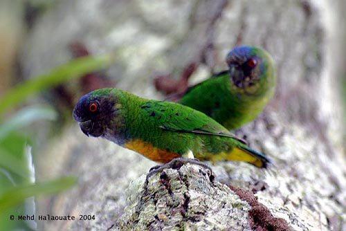 Spesies burung yang masih kerabat beo ini merupakan burung endemik Teluk Cendrawasih Mengenal Burung Nuri-kate Geelvink