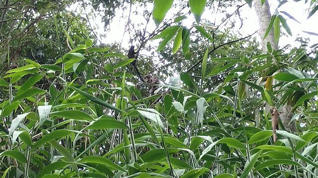 monkey - Tombopato Reserve, Peru