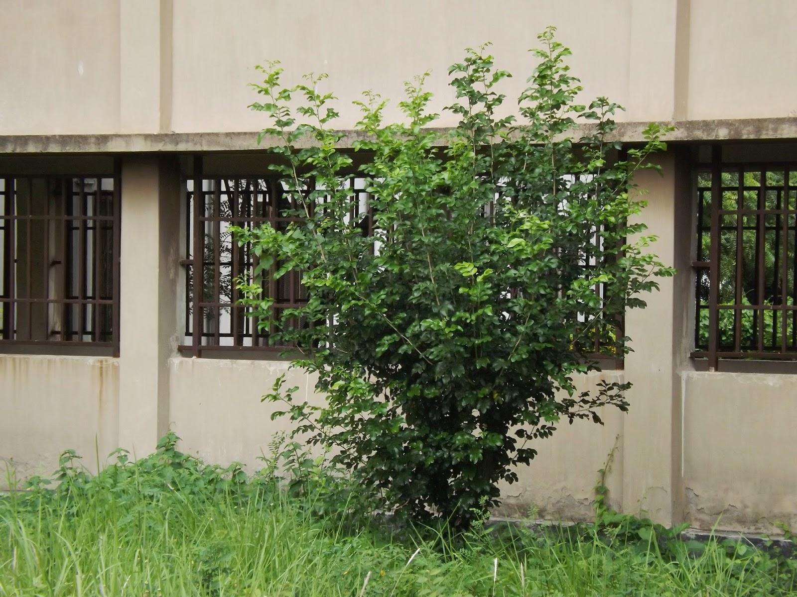 Kamini Orange Jasemine Murraya Paniculata