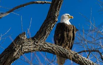 Wallpaper: Bald Eagle in a tree