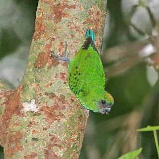 Microloro de las Kai: Micropsitta keiensis