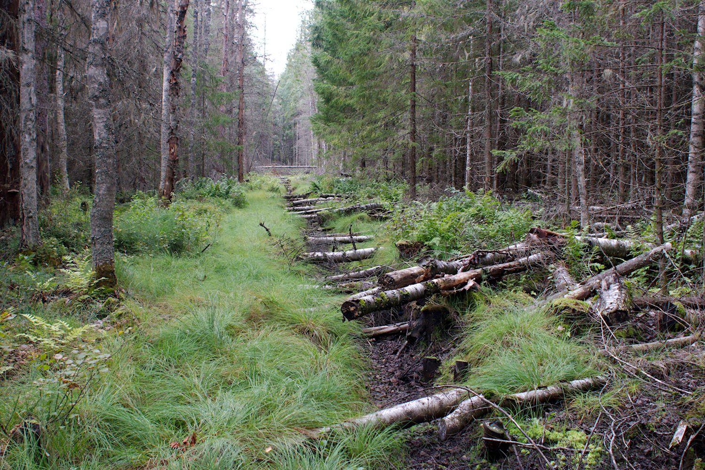 Ennallistettu Piilosuo, puita kumossa ojan päällä