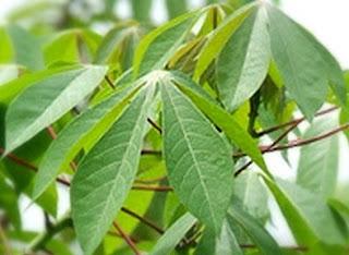 memang sudah umum dan banyak dipakai dalam beberapa jenis masakan Tumbuhan Berkhasiat 15 Manfaat Dan Khasiat Daun Ketela Pohon Bagi Kesehatan