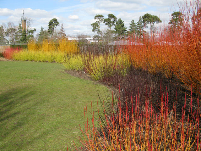 Winter dogwood display at Hadlow college