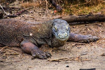 komodo di Komodo National Park