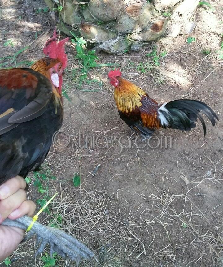 Tips Memikat Memelihara Ayam Hutan Asli Uniaga Aviary