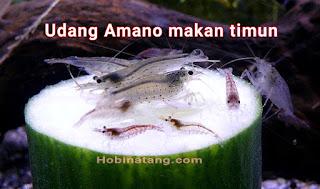 makanan udang hias amano