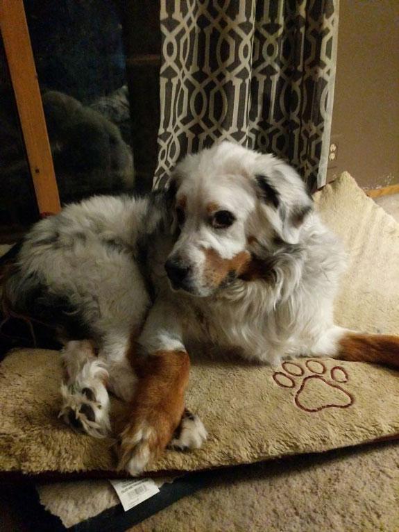 Perro con vitiligo-5