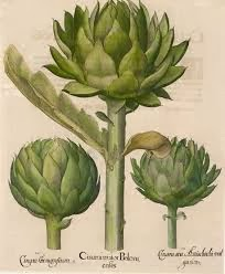 Botanical illustration of artichoke plants