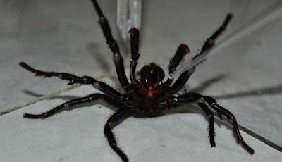 Laba-laba mematikan di dunia