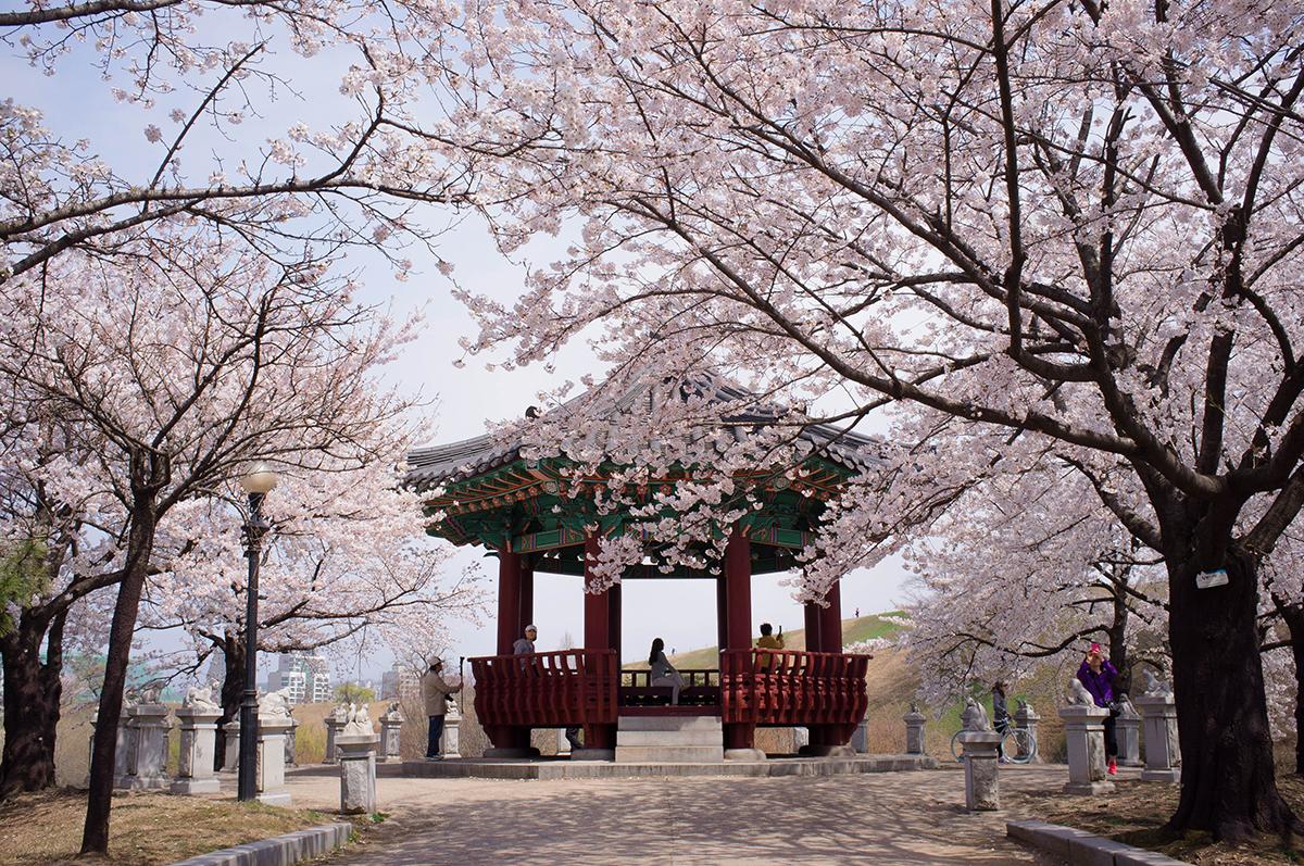 Gambar Wallpaper Pemandangan Bunga Sakura Art Wallpaper
