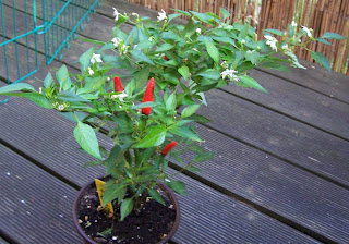 birs eye chili