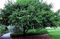 Abanoz Ağacı Sarı Salkım Altın Yağmuru Sarı Akasya En Çok Neye İyi Gelir?