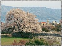 Cvjetanje badema Škrip slike otok Brač Online