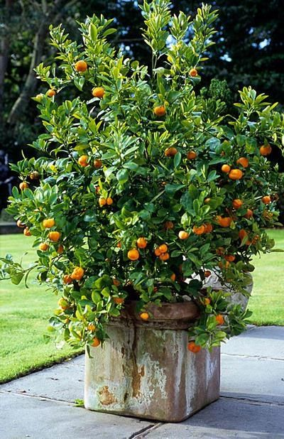 Perfect I Will Take Potted Citrus Trees Any Way, Shape, Or Size, However, I Think  They Are Especially Pretty All In A Row. Nothing Says French Like A Potted  Citrus ...