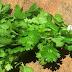 Αυτό το βότανο σκοτώνει ακόμη και το 86% των κυττάρων του καρκίνου του πνεύμονα