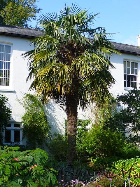 Botaniquarium - Trachycarpus fortunei specimen