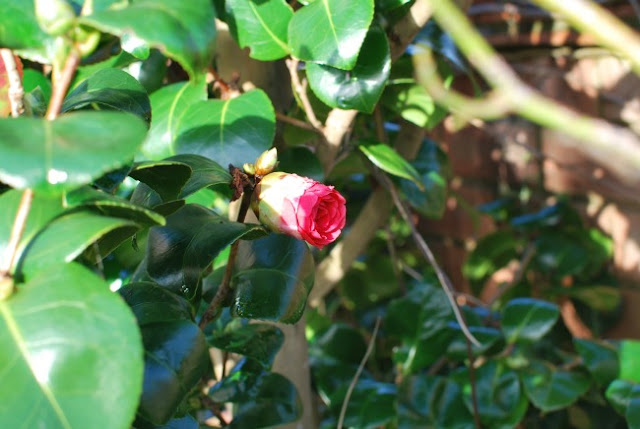 A-Cardiff-Garden-In-December-picture-of-camellia -in-bud