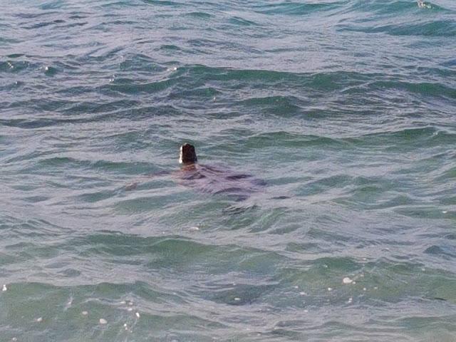 wild sea turtle lady elliot island great barrier reef australia