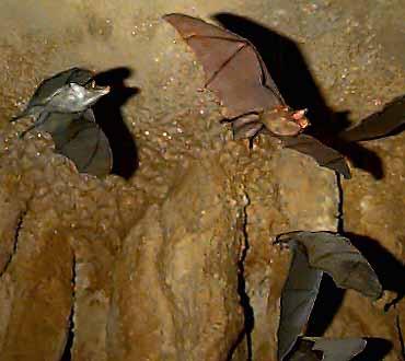Cuban Greater Funnel-Eared Bat | Fun Animals Wiki, Videos