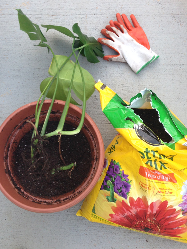 How to Root a Stem Cutting from a Monstera Deliciosa in Water-design addict mom