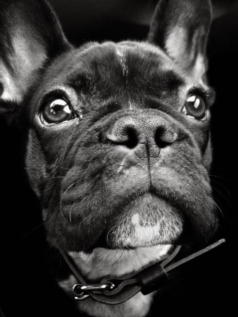 chien race bouledogue francais