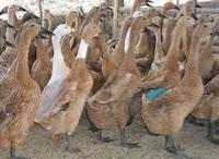 cara menyembuhkan penyakit lumpuh pada bebek atau itik