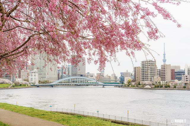 石川島公園(中央区)の桜と永代橋、スカイツリー