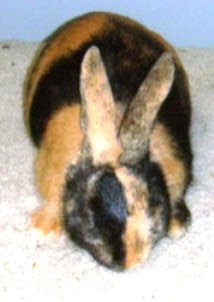 jenis kelinci harlequin pola japanese