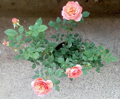 david asutin boscobel rose young coral flowers
