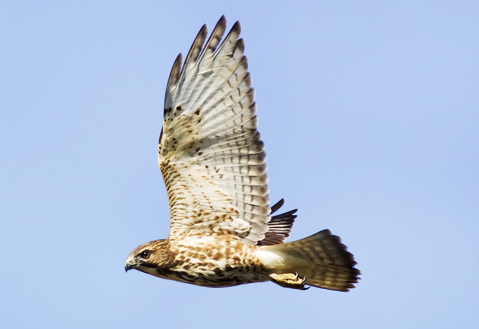 North Carolina Mountain Birds Broad Winged Hawk
